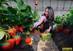 大棚草莓上市 今年草莓价格高于往年
