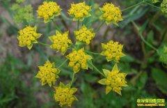 适合冬季种植的三种中药材品种