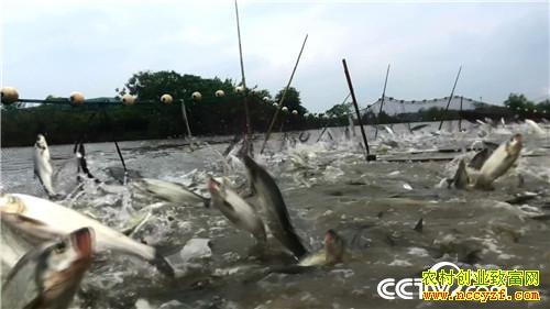 [致富经]请来天敌 怪招养鱼年卖3000万 20181205