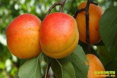 山东新泰六旬老汉方立章一棵杏树卖出千万财富