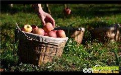 [致富经]丑苹果价高 浙江金华鲍国华种苹果全靠一刀