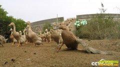 [致富经]广西北海许承华赶鸭下海 养鸭不到两年卖千万