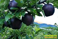 种什么能赚钱?种植黑苹果和油莎豆收益可观