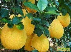 今冬柚子量多价格低 年关将至柚子行情能否翻盘?