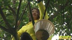 [致富经]重庆江津何春梅种植橄榄一年纯赚100多万