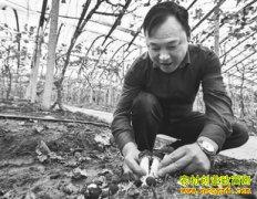 浙江宁波陈海栋葡萄架下种植酒红球盖菇效益高