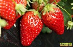 2019年3月4日最新草莓价格行情