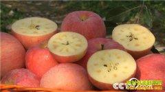 [致富经]山西万荣贾秋丽回娘家卖苹果两年成百万富姐