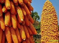 明年玉米价格能涨起来吗?