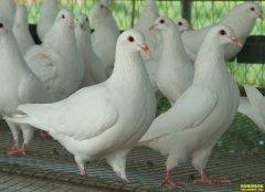 陕西华阴周鸽养鸽创业 700多只肉鸽年利润五六万