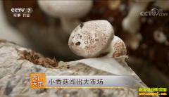 [农广天地]陕西韩城张效峰种植香菇闯出大市场