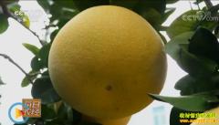 [每日农经]浙江玉环文旦柚子好卖 多亏有个好名字