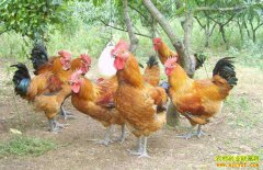 怎样有效降低养鸡成本与投入?