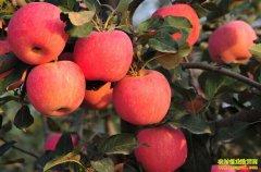 今年苹果还要涨价?苹果价格已到近5年高位