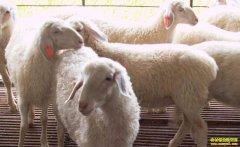 羊价格高涨 养殖户如何买羊扩大规模?