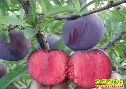 2019年种植什么水果赚钱?美国杏李