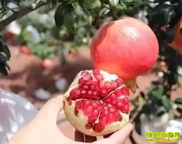 """2019年种植什么水果赚钱?""""突尼斯""""软籽石榴"""