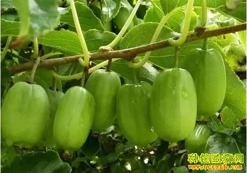 2019年种植什么水果赚钱?软枣猕猴桃