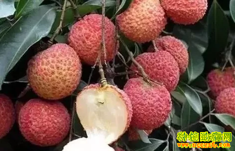 2019年种植什么水果赚钱?无核荔枝
