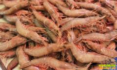 年关到 虾价俏 年前大虾行情仍被普遍看好