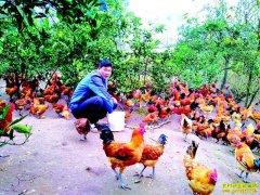 四川岳池县肖平养殖跑山鸡年入十多万