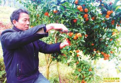 四川泸州尹建明田坎边上种柑橘效益好