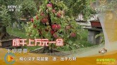 [致富经]河北保定赵晨花盆种苹果创造千万财富