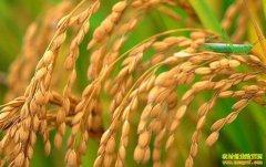 稻米价格低迷、小麦行情平稳 终端市场火热