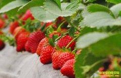 山东定陶国家一级厨师姜在旺放弃好工作返乡种草莓