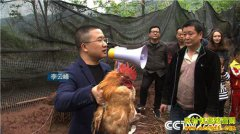 """[致富经]湖南泸溪县李云峰养土鸡把鸡""""催眠""""价格翻倍"""