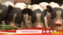 [科技苑]河北唐山张立霞慢养香猪肉更香