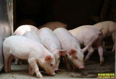 新一年生猪行情迎利好 近期生猪价格或上涨