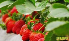 特色反季果蔬种植开启农闲增收新路径