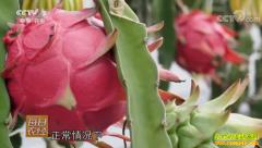[每日农经]1年16次挂果的火龙果