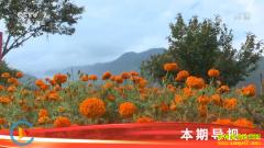 [科技苑]菊花好看也能吃 种植万寿菊效益好