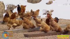 """[每日农经]新疆吉木萨尔县魏莲芬""""与狼共舞""""的鸡居然赚钱了"""