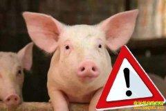 为什么非洲猪瘟没有疫苗?