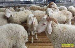 2019年想养羊,养什么品种的羊效益最好最赚钱?