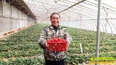 山东汶上县付卫华一棚草莓收入10万元