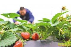 重庆綦江李靓绿色种植大棚草莓致富忙