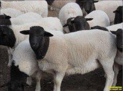 肉羊多少钱一斤?2019年3月7日全国肉羊活羊价格行情