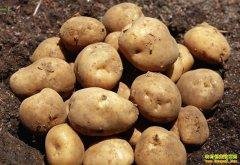 产区货源紧,马铃薯价格稳中涨