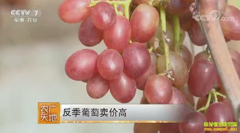 [农广天地]山东寿光何涛种植反季葡萄卖价高