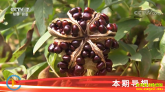 [科技苑]好看的牡丹还能吃 油用牡丹种植高清视频