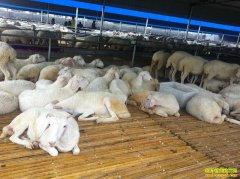 羊肉价格创新高,养殖户养羊补栏需谨慎