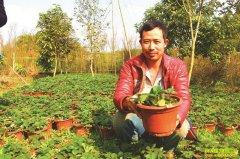 四川泸州莫传江盆栽草莓收益高亩赚3万元