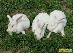 养兔子为什么不赚钱?4个原因为养殖分析一下