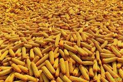玉米价格持续下滑 今年玉米价格何时反弹?