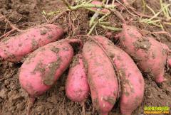2019年5月14日最新红薯(地瓜、紫薯)价格行情