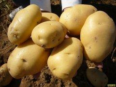 10月18日全国土豆产区最新土豆价格行情